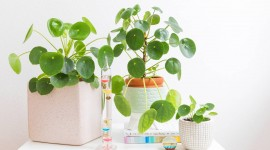 Pilea Wallpaper 1080p