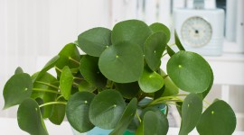 Pilea Wallpaper