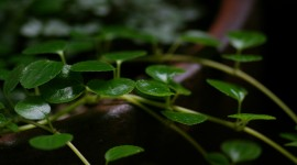 Pilea Wallpaper Download