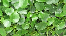 Pilea Wallpaper Download Free