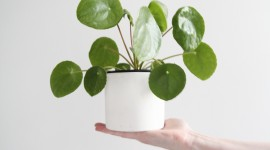 Pilea Wallpaper For IPhone