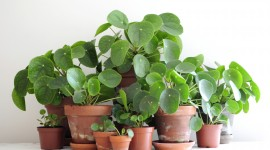 Pilea Wallpaper For PC