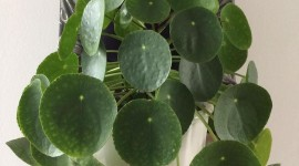 Pilea Wallpaper Gallery