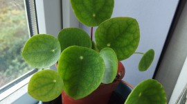 Pilea Wallpaper High Definition