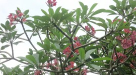 Plumeria Wallpaper