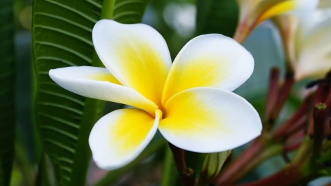 Plumeria wallpapers high quality