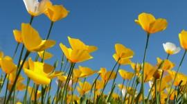 Poppy Yellow Photo