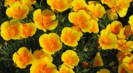 Poppy Yellow Wallpaper Download