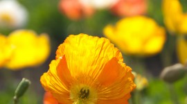 Poppy Yellow Wallpaper For IPhone
