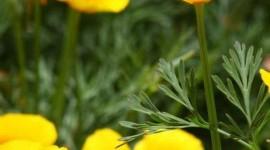 Poppy Yellow Wallpaper For Mobile