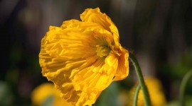 Poppy Yellow Wallpaper Free