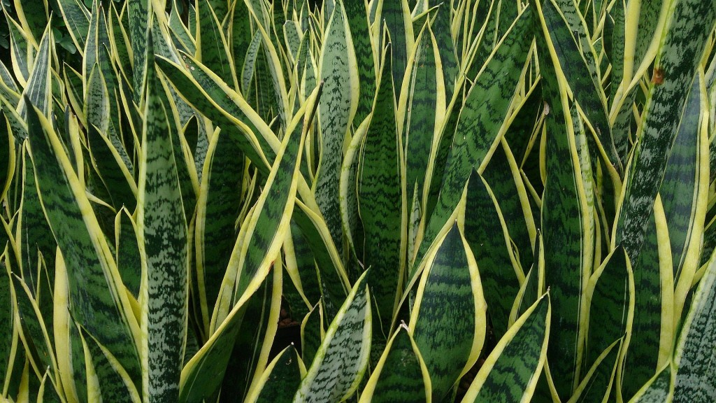 Sansevieria wallpapers HD