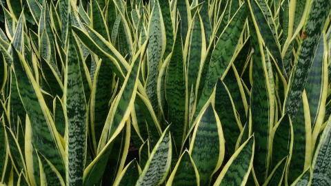 Sansevieria wallpapers high quality