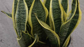 Sansevieria Wallpaper Background