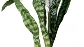 Sansevieria Wallpaper For IPhone