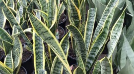 Sansevieria Wallpaper For IPhone 6