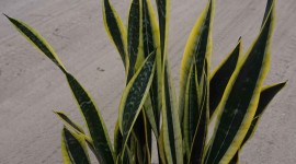 Sansevieria Wallpaper Gallery