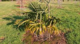 Trachycarpus Best Wallpaper
