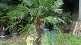 Trachycarpus High Quality Wallpaper