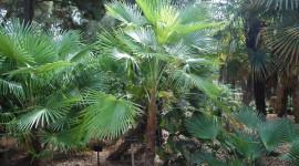 Trachycarpus Wallpaper 1080p