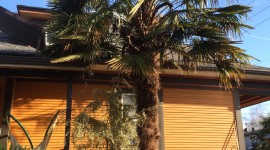 Trachycarpus Wallpaper
