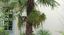 Trachycarpus Wallpaper Download