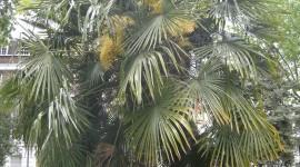 Trachycarpus Wallpaper Download Free