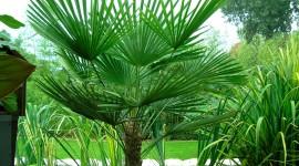 Trachycarpus Wallpaper Full HD