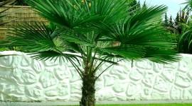 Trachycarpus Wallpaper HD