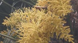 Trachycarpus Wallpaper High Definition