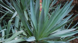 Yucca Wallpaper For IPhone Free