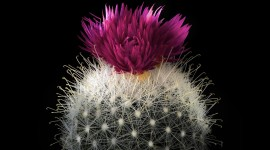 4K Cactus Pink Photo Download