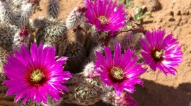 4K Cactus Pink Photo Free