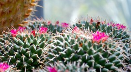 4K Cactus Pink Wallpaper For PC