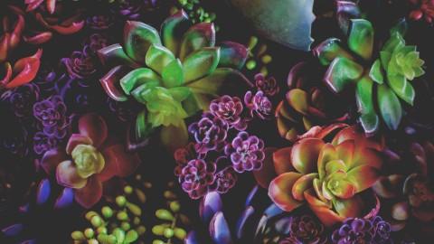 4K Echeveria Flowers wallpapers high quality