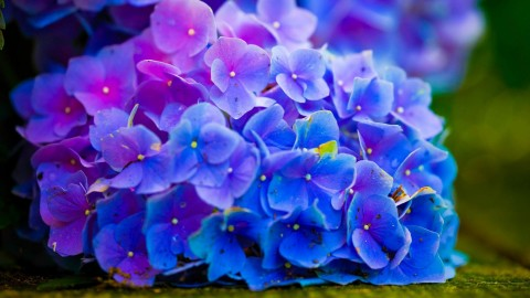 4K Hydrangea wallpapers high quality