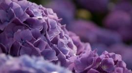 4K Hydrangea Image