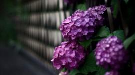 4K Hydrangea Photo
