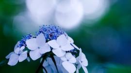 4K Hydrangea Photo Free