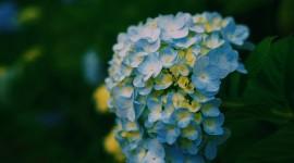 4K Hydrangea Picture Download