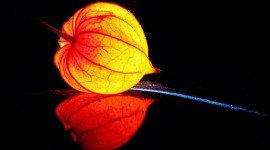 4K Physalis Flower Aircraft Picture