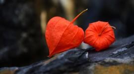 4K Physalis Flower Photo Free