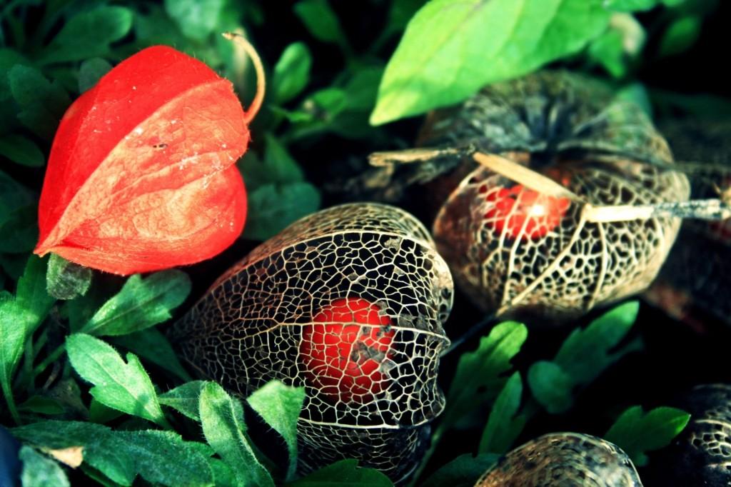 4K Physalis Flower wallpapers HD