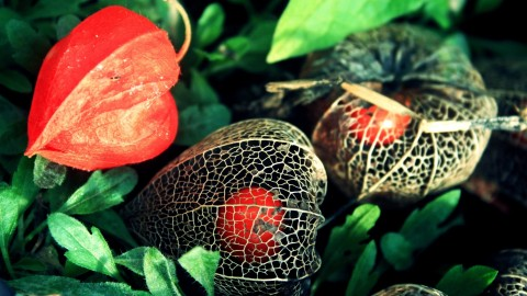 4K Physalis Flower wallpapers high quality