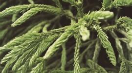 4K Pine Branches Needles Desktop Wallpaper