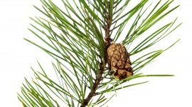 4K Pine Branches Needles For Mobile#1