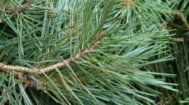 4K Pine Branches Needles Photo Free