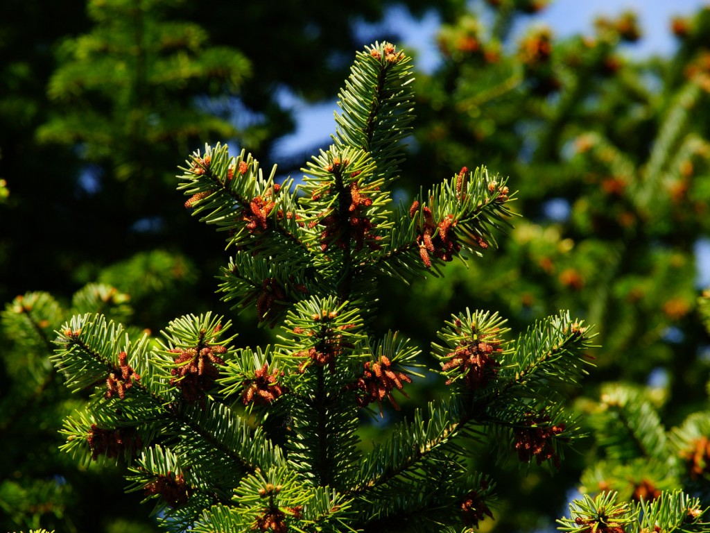 4K Pine Branches Needles wallpapers HD