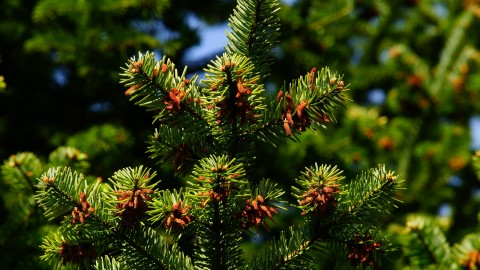4K Pine Branches Needles wallpapers high quality