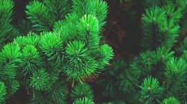 4K Pine Branches Needles Wallpaper Full HD